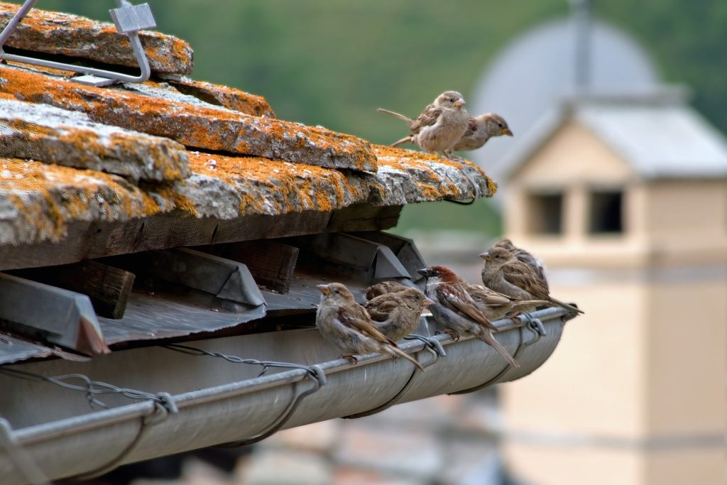 A close up of a house gutter with two little birds sat on a roof tile and six more sat on the edge of the gutter